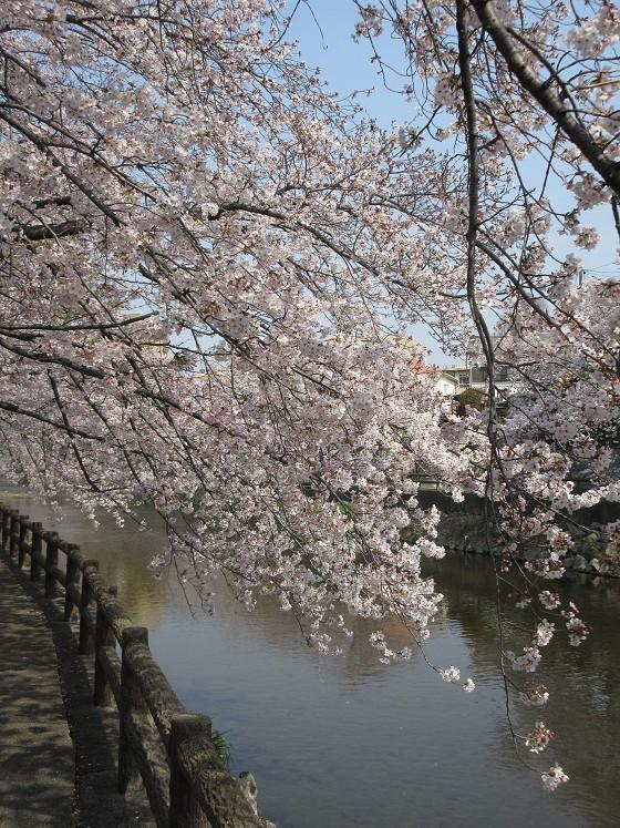 2019-04-07_0956_庄下川・桜_IMG_7958_s.JPG