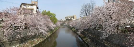 2019年4月7日の庄下川のサクラ