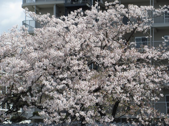 2019-04-11_1116_サクラ_IMG_8019_s.JPG