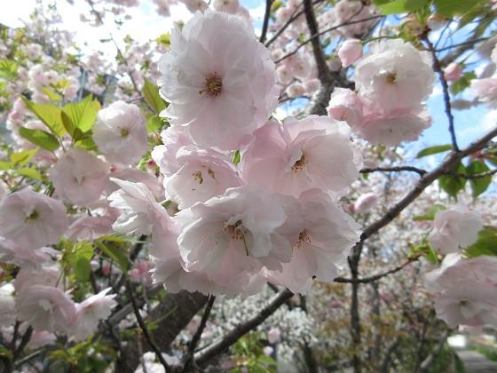 2019-04-15_1025_八重サクラ_IMG_8041_s.JPG