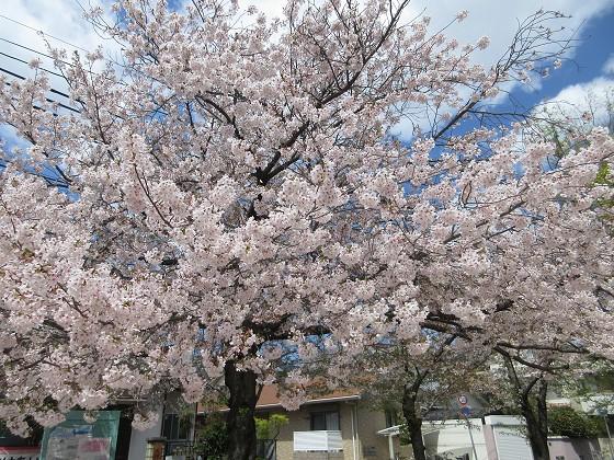 2019-04-15_1105_サクラ_IMG_8056_s.JPG