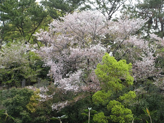 2019-04-17_1049_サクラ_IMG_8087_s.JPG
