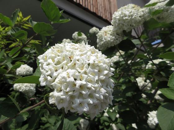 2019-04-21_1306_オオデマリ_IMG_8196_s.JPG