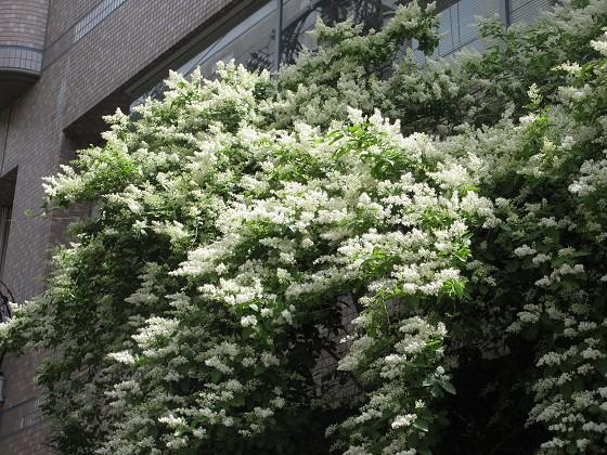 2019-05-19_1027_セイヨウイボタノキ_IMG_8602_s.JPG