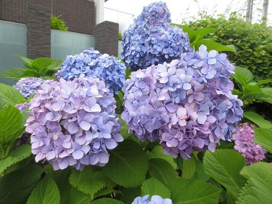 2019-06-05_0917_アジサイ_IMG_8862_s.JPG