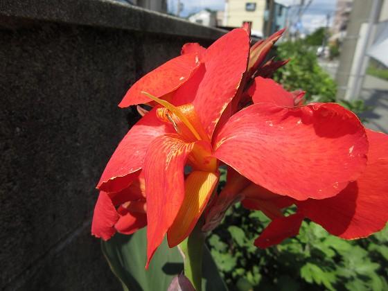 2019-06-24_0932_カンナ_IMG_9210_s.JPG