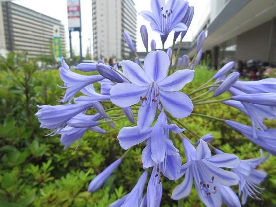 2019-07-05_0919_アガパンサス_IMG_9302_s.JPG