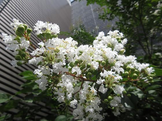 2019-07-07_1003_サルスベリ_IMG_9317_s.JPG