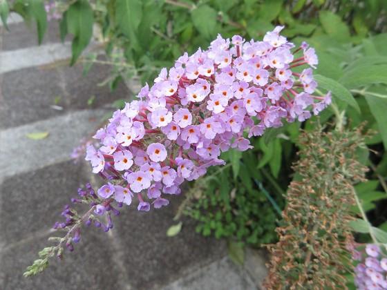 2019-07-12_1017_ブッドレア(フサフジウツギ)_IMG_9350_s.JPG