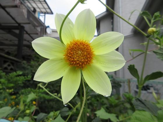 2019-07-27_1522_ダリア_IMG_9418_s.JPG