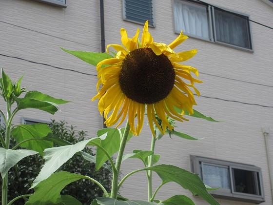 2019-08-31_1301_ヒマワリ_IMG_9609_s.JPG