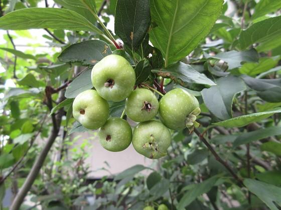 2019-09-01_1042_ヒメリンゴの実_IMG_9634_s.JPG