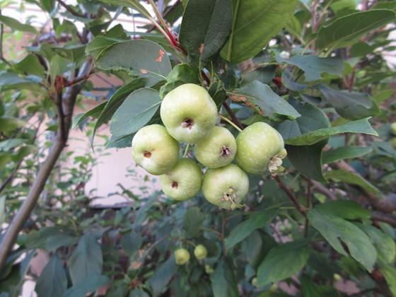 2019-09-18_1512_ヒメリンゴの実_IMG_9776_s.JPG