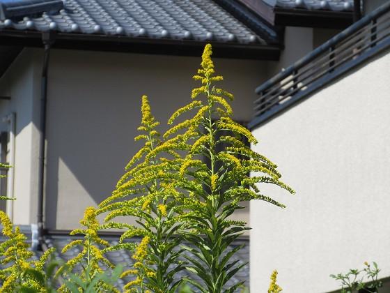 2019-10-07_1036_セイタカアワダチソウ_IMG_0169_s.JPG
