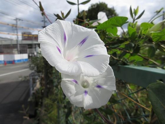 2019-10-20_1030_ウンナンアサガオ_IMG_0334_s.JPG