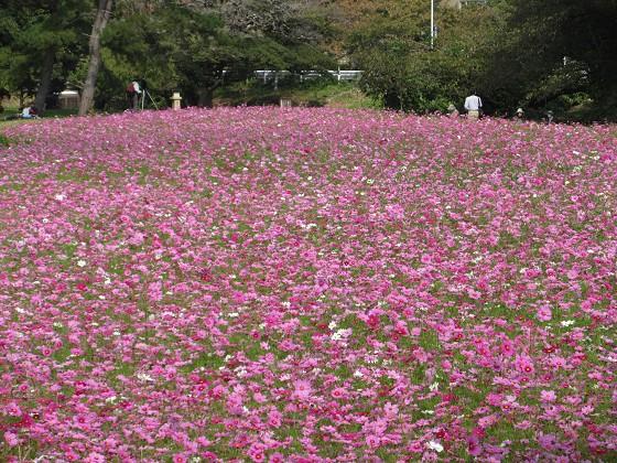 2019-10-30_1154_コスモス園_IMG_0513_s.JPG