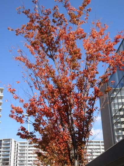 2019-11-10_1032_ケヤキの紅葉_IMG_0732_s.JPG