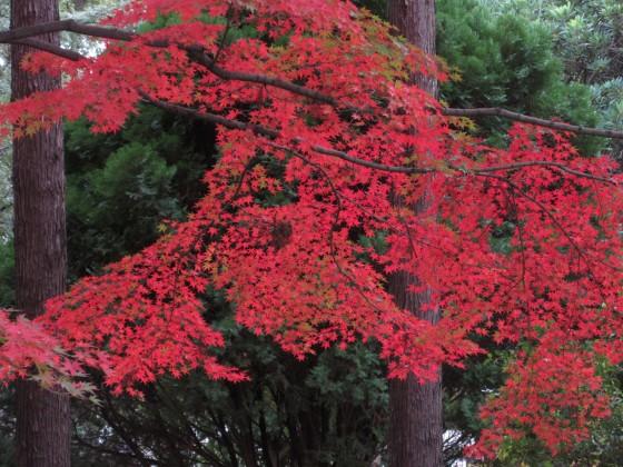 2019-11-27_1455_ヤマモミジ・紅葉・近松公園_IMG_1194_s.JPG