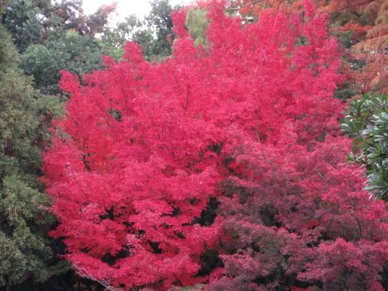 2019-11-27_1458_ヤマモミジ・紅葉・近松公園_IMG_1196_s.JPG