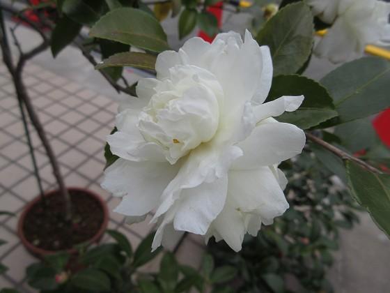 2020-01-09_1244_サザンカ_IMG_1696_s.JPG