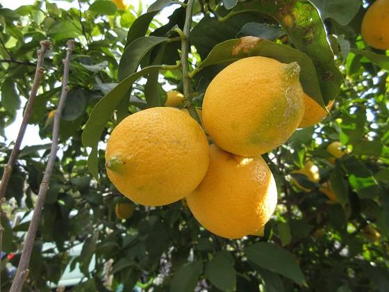 2020-01-09_1350_レモンの実_IMG_1705_s.JPG