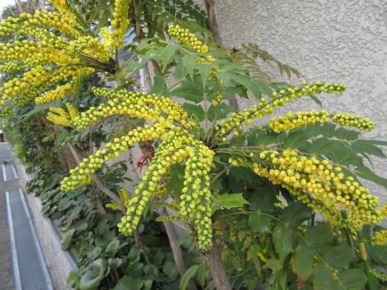 2020-01-10_1110_ヒイラギナンテン_IMG_1710_s.JPG
