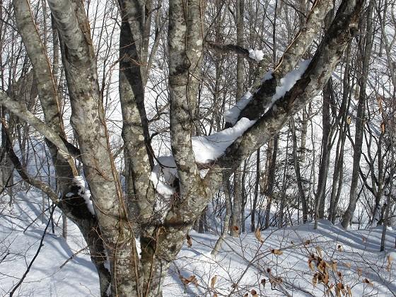 2020-01-26_1240_ハンの木高速ペアリフト・ハンの木の股の積雪_IMG_1985_s.JPG