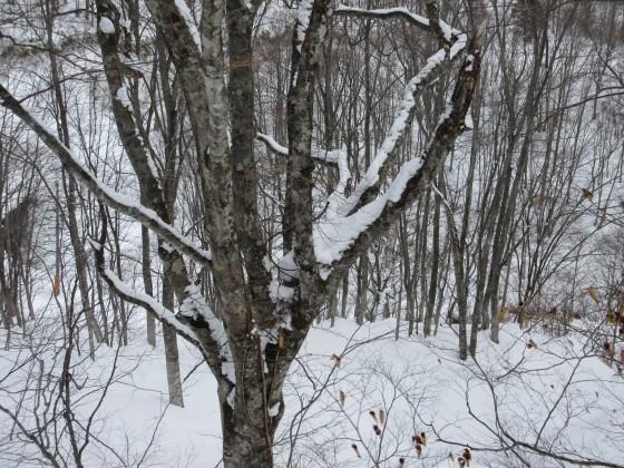 2020-02-02_1137_ハンの木高速ペアリフト横のハンの木大木の股に積もった雪_IMG_2252_s.JPG