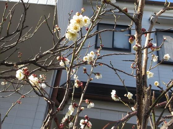 2020-02-11_1127_ウメ_IMG_2437_ts.JPG