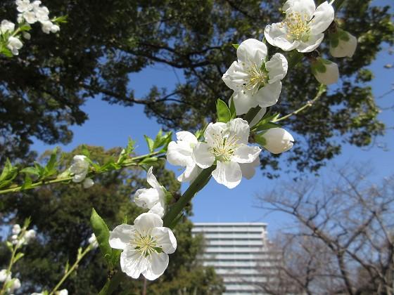 2020-03-02_1044_ハナモモ_IMG_2652_s.JPG