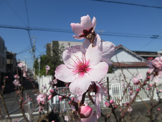 2020-03-12_1038_ハナモモ_IMG_2774_s.JPG