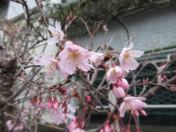2020-03-14_1348_オカメザクラ_IMG_2804_s.JPG