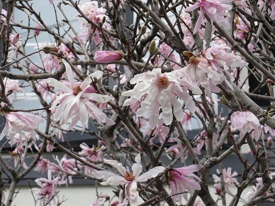 2020-03-14_1426_シデコブシ_IMG_2818_s.JPG