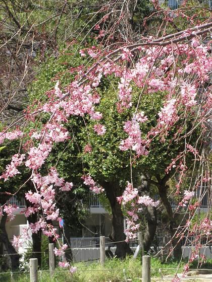 2020-03-21_1208_枝垂れ桜_IMG_2995_s.JPG