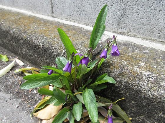 2020-04-02_1116_スミレ_IMG_3244_s.JPG