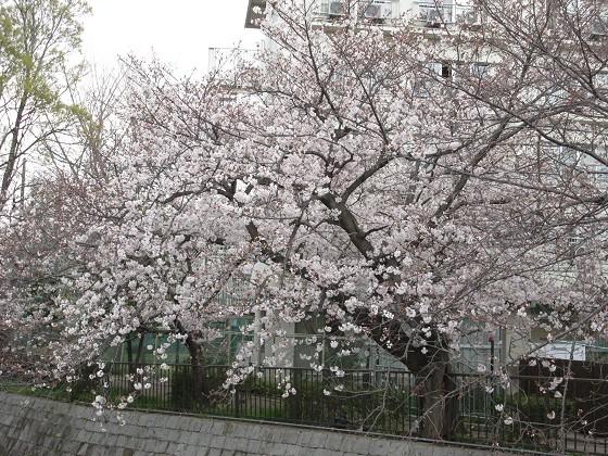 2020-04-02_1124_サクラ・庄下川_IMG_3251_s.JPG