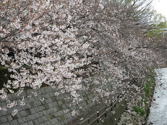 2020-04-02_1124_サクラ・庄下川_IMG_3254_s.JPG