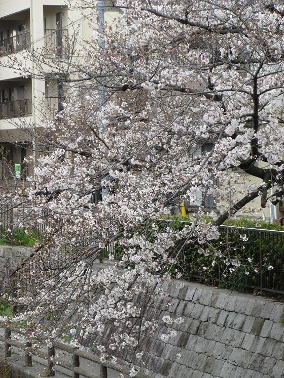 2020-04-02_1124_サクラ・庄下川_IMG_3256_s.JPG