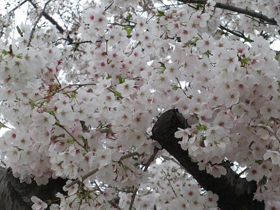 2020-04-02_1130_サクラ_IMG_3262_s.JPG