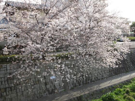 2020-04-03_1603_サクラ_IMG_3283_s.JPG