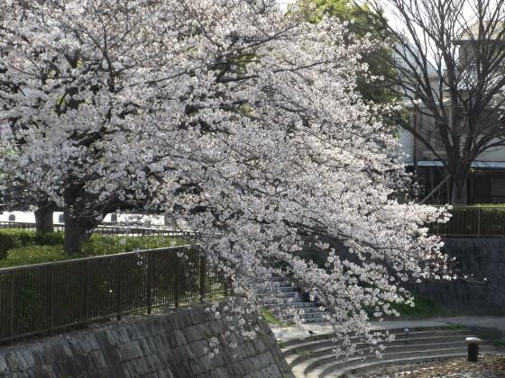 2020-04-03_1604_サクラ_IMG_3285_s.JPG