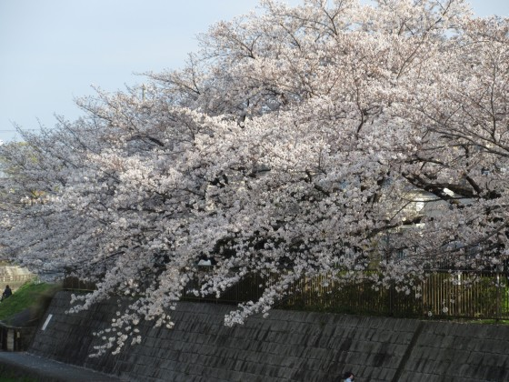 2020-04-03_1605_サクラ_IMG_3289_s.JPG