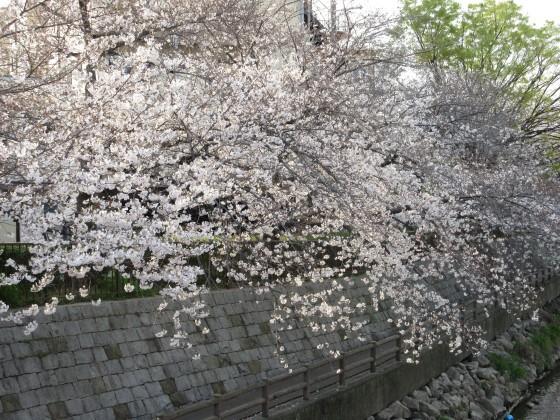2020-04-03_1613_サクラ_IMG_3303_s.JPG