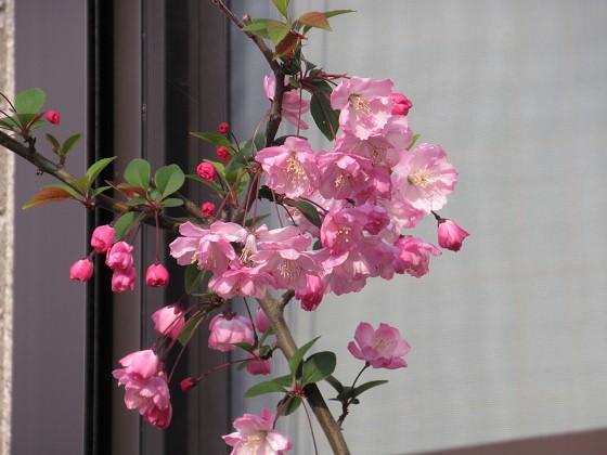 2020-04-03_1618_ハナカイドウ_IMG_3308_s.JPG