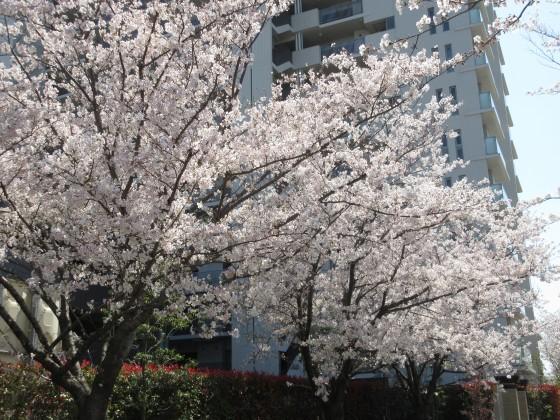 2020-04-04_1222_サクラ_IMG_3390_s.JPG
