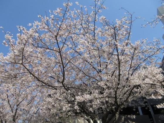 2020-04-04_1222_サクラ_IMG_3391_s.JPG