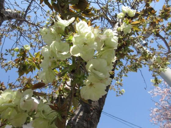2020-04-04_1229_ウコンザクラ_IMG_3398_s.JPG