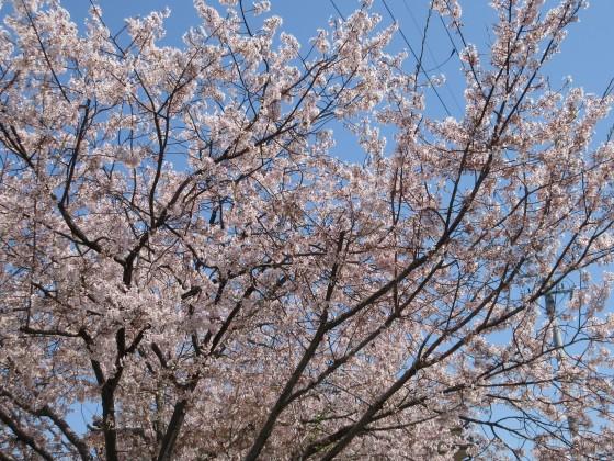 2020-04-04_1233_エドヒガン_IMG_3401_ts.JPG