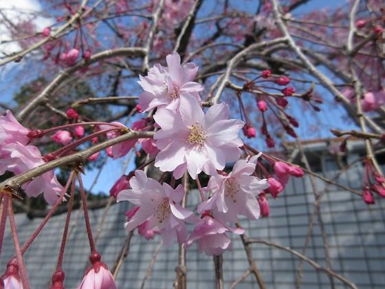 2020-04-05_0945_枝垂れ桜_IMG_3406_s.JPG