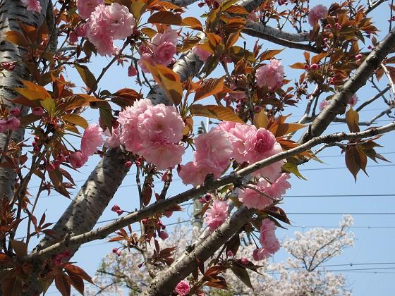 2020-04-08_1214_八重桜_IMG_3513_s.JPG
